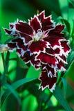 Dekoracyjny goździka kwiat na zielonym tle Obraz Stock