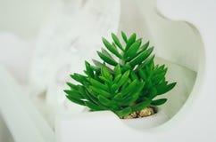 Dekoracyjny houseplant grubosz zdjęcie stock