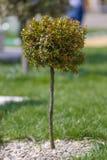 Dekoracyjny krzaka drzewo Obraz Royalty Free