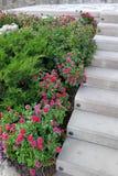 Dekoracyjny kwiatu łóżko z wiecznozielonymi roślinami i małym claret kwitnie w garnkach blisko betonowych progów Obraz Royalty Free