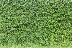 Dekoracyjny ogrodowy bluszcz na ceglanym ogrodzeniu Zdjęcie Stock