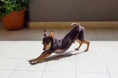 Dekoracyjny Rosyjski Zabawkarski Terrier zdjęcie royalty free