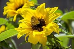 Dekoracyjny słonecznik i motylia selekcyjna ostrość Fotografia Stock