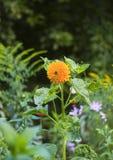 Dekoracyjny słonecznik na flowerbed Zdjęcia Royalty Free