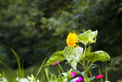 Dekoracyjny słonecznik na flowerbed Fotografia Royalty Free