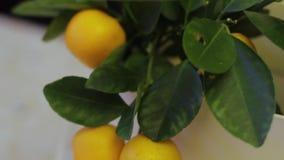 Dekoracyjny tangerine drzewo z owoc zbiory wideo