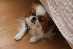 Dekoracyjny traken psy Mały domowy pies Pies pod th Zdjęcia Royalty Free