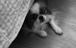 Dekoracyjny traken psy Mały domowy pies Pies pod th Zdjęcie Stock