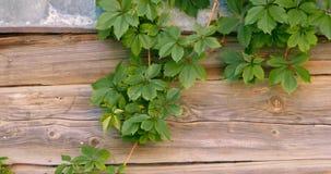 Dekoracyjny winogrono rozgałęzia się na starym drewnianym ogrodzeniu zbiory