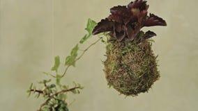 Dekoracyjny zielony krzak w formie piłka zbiory