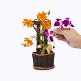 Dekoration-Kosmosgänseblümchen und purpurrote Orchidee Stockbild
