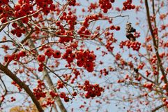 Dekorativ äppleMalussp orange frukter utan sidor i vinter arkivbilder