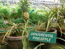dekorativ ananas Royaltyfri Foto