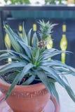 Dekorativ ananas i en terrakottablomkruka Fotografering för Bildbyråer