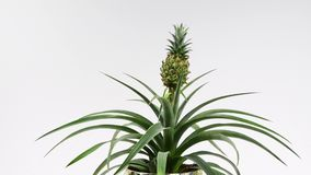 Dekorativ ananasväxt lager videofilmer