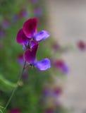 Dekorativ blomma av ärtan Arkivfoto