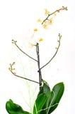 dekorativ blommaorchidskruka Arkivfoto