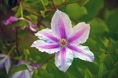 Dekorativ blomningvinranka, klematis arkivbild