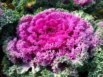 Dekorativ Brassicaoleracea i trädgården Slut upp dekorativ kål med ƒ för bladgradientroyaltyfri fotografi