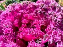 Dekorativ Brassicaoleracea i trädgården Slut upp dekorativ kål med ƒ för bladgradientarkivfoto