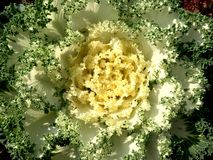 Dekorativ Brassicaoleracea i tr?dg?rden E royaltyfri foto