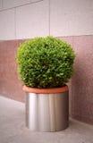 dekorativ buske royaltyfria foton
