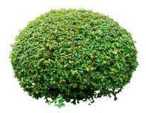 Dekorativ buske Royaltyfri Foto