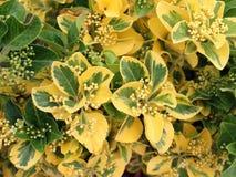 dekorativ buske Arkivbilder