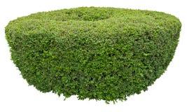 Dekorativ buske Royaltyfria Bilder