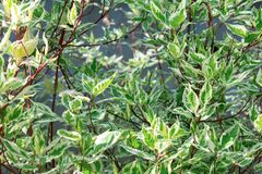 Dekorativ buske Derain vita Elegantissima eller Cornusalbum arkivfoton