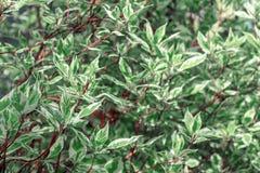 Dekorativ buske Derain vita Elegantissima eller Cornusalbum arkivbild
