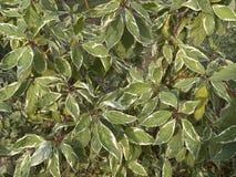 Dekorativ buske för Cornusalbum royaltyfri fotografi