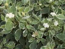 Dekorativ buske för Cornusalbum arkivbilder