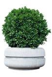 Dekorativ buske i en kruka royaltyfria bilder