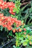 Dekorativ chaenomelebuske Royaltyfria Bilder