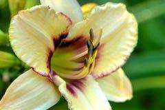 Dekorativ daylily Kultiverad blomma royaltyfria bilder