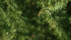 Dekorativ enbuske på platsen stock video