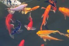 dekorativ färgrik fisk Arkivfoton