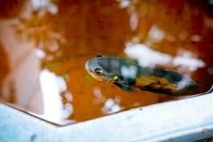 Dekorativ fisk royaltyfria bilder