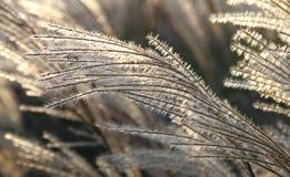 Dekorativ gräsfilial i ett solljus. Royaltyfri Fotografi