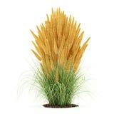 Dekorativ gräsväxt som isoleras på vit Arkivbilder