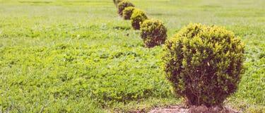 Dekorativ grön buske på gräsäng i vår Royaltyfria Foton