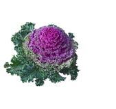 Dekorativ grönkål (Brassicaoleracea). Isolerat. Royaltyfri Fotografi