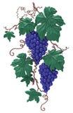 Dekorativ grupp av druvor royaltyfri illustrationer