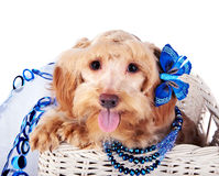 Dekorativ hund med blåttprydnaden i en vit korg Fotografering för Bildbyråer