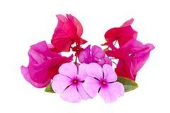 Dekorativ isolerad skärm av ljusa rosa blommor Royaltyfri Foto