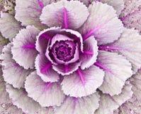 dekorativ kål Royaltyfria Foton