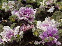 dekorativ kål Royaltyfria Bilder