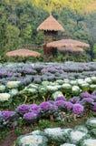 Dekorativ kål- och blomninggrönkålträdgård Royaltyfri Foto