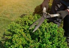 Dekorativ klippning av buskar med beskära sax arkivbild